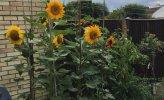 Sunflowers 2021_2.JPG